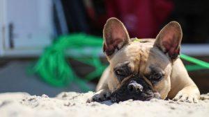 Fort Lauderdale Beach Bulldog